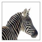 Junges Zebra