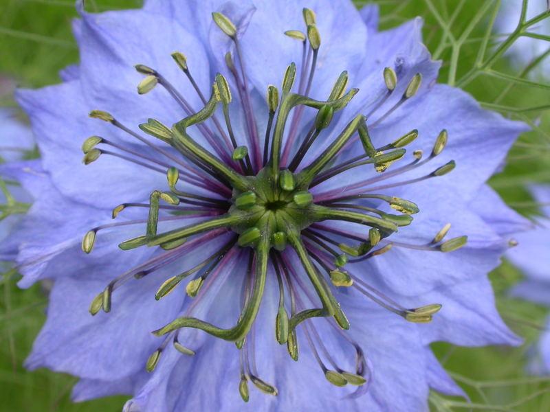 jungfer im gruenen foto bild pflanzen pilze flechten bl ten kleinpflanzen. Black Bedroom Furniture Sets. Home Design Ideas