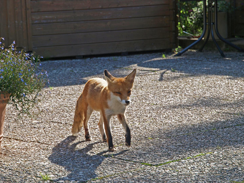 Jungfuchs im Garten verirrt in Hahnenklee/Harz