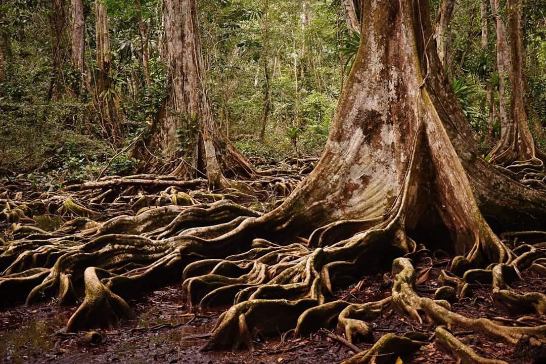 Jungle of Panama