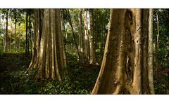 Jungleriesen