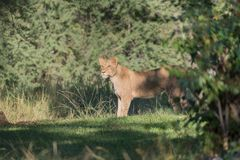 Junglöwe (Panthera leo)