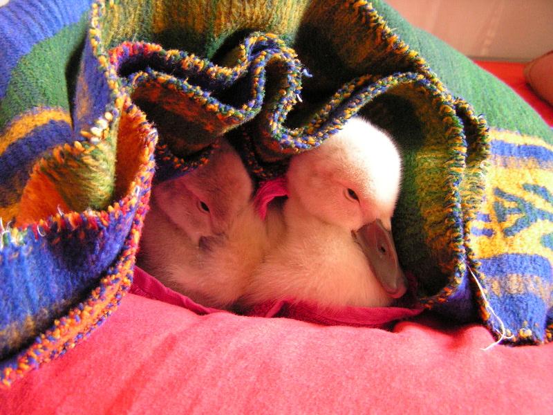 Jungschwäne im Bett