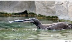 Jungtölpel Heinrich lernt Fische fangen...