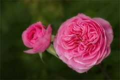 Juni, der Rosenmonat...