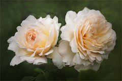 Juni, der Rosenmonat... Englische Rosen...