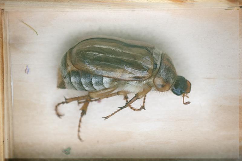 Juni-Käfer