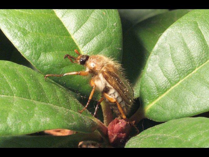 Juni Käfer