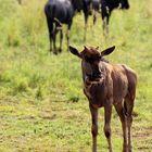 Junior Wildebeest