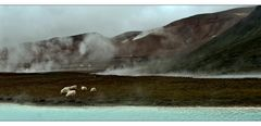 just an icelandic landscape with sheep