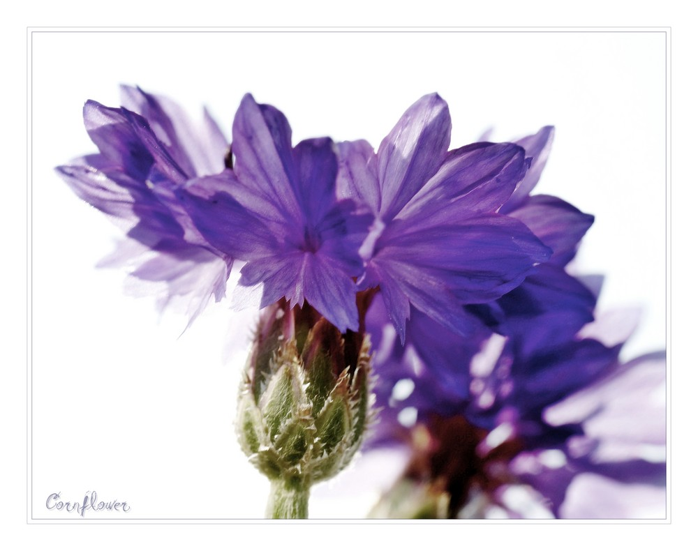 just another ordinary cornflower