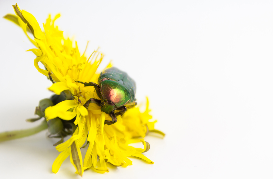 just beetle