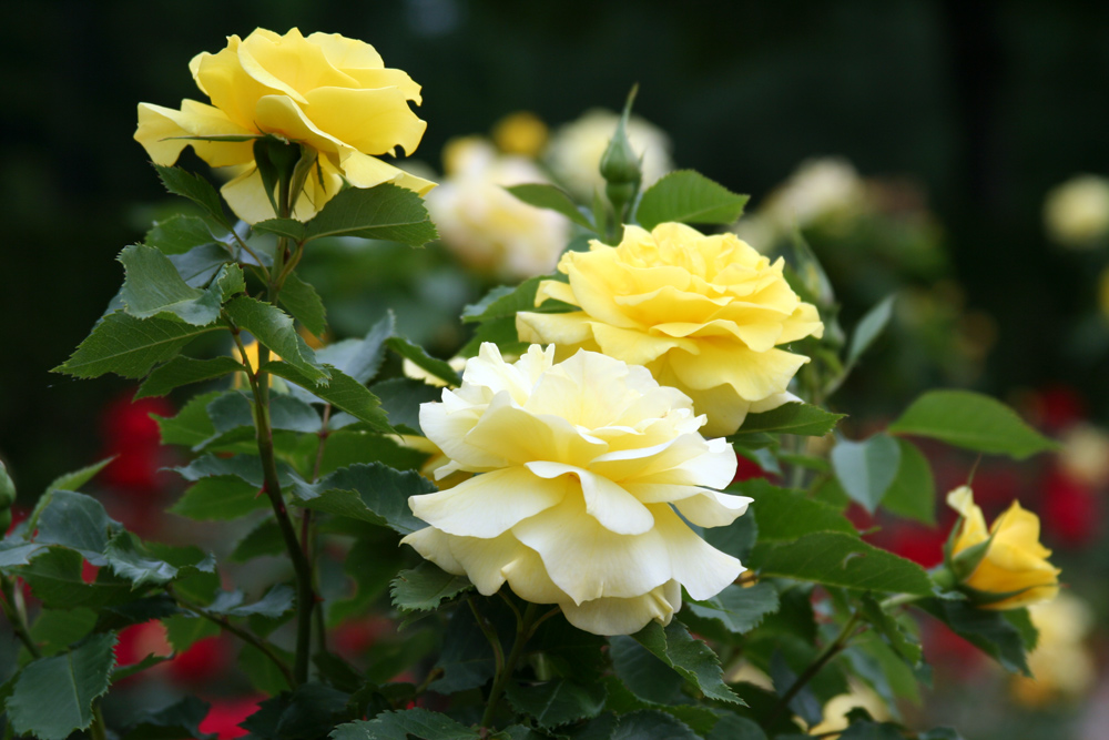 JUST YELLOW ROSES