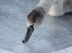 Juvenile swan sipping icy Skagerrak water
