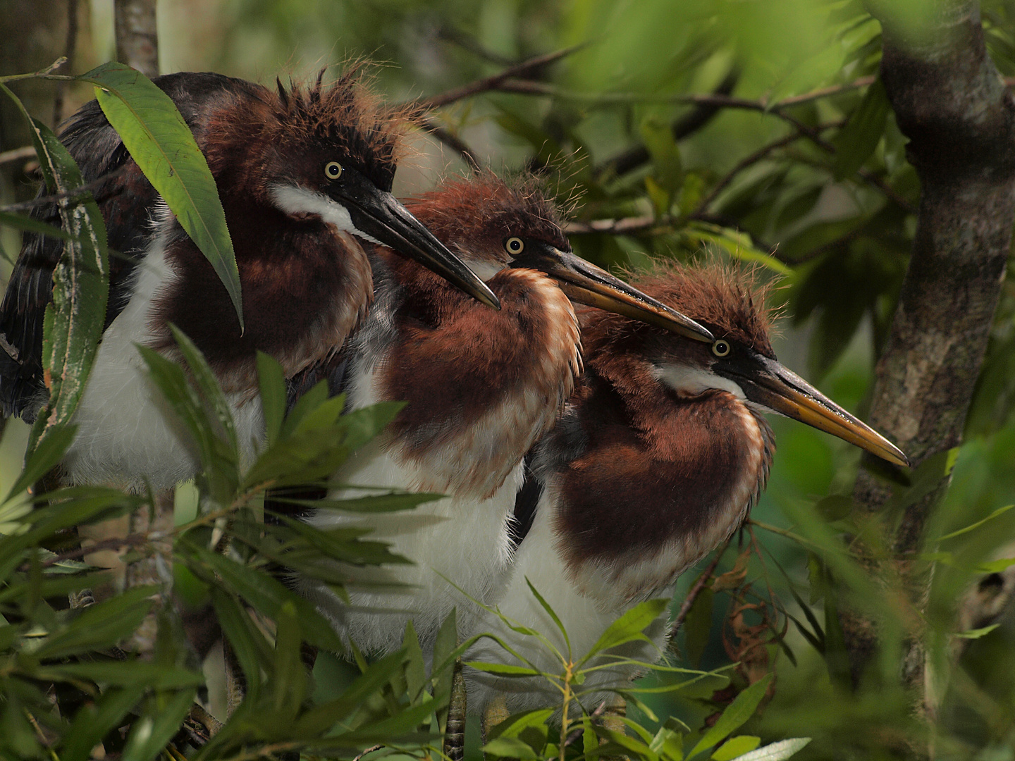 Juvenile Tricolor Herons in a row