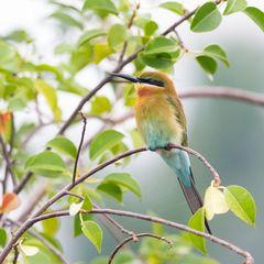 Juveniler blue-tailed Bee-eater