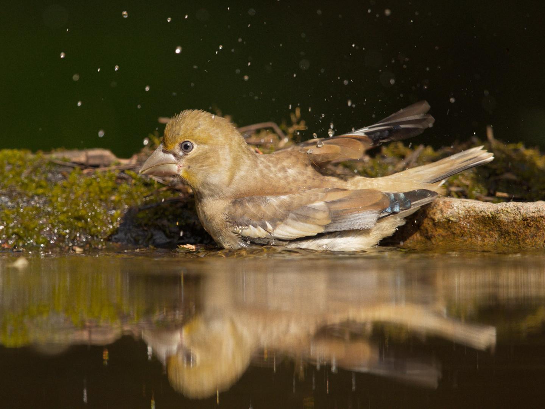 Juveniler Kernbeisser geniesst ein Bad