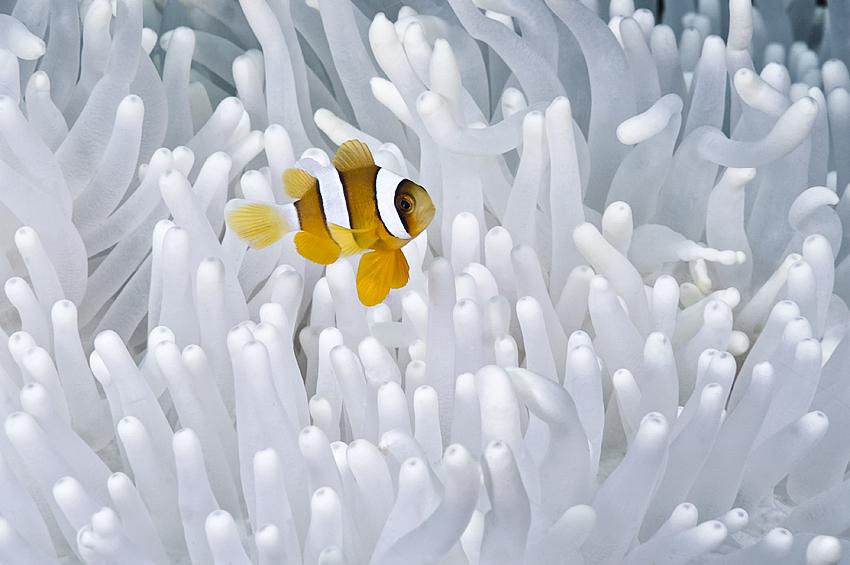 Juveniler Orange-Ringel Anemonenfisch