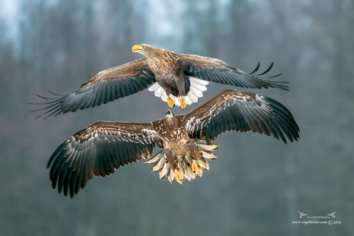 juv.Seeadler vs. adult Seeadler