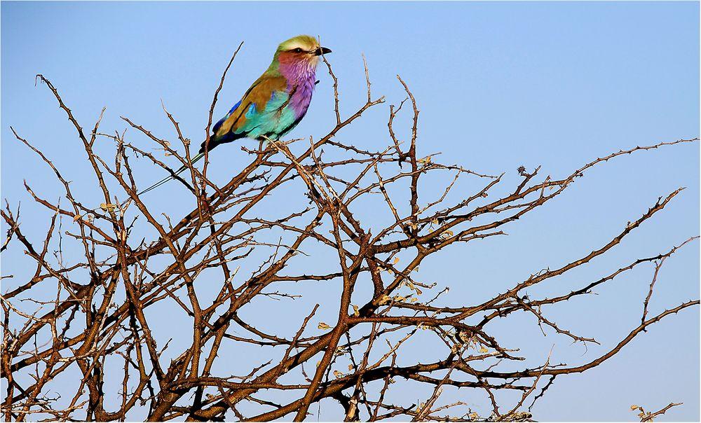 Juwel der Vogelwelt