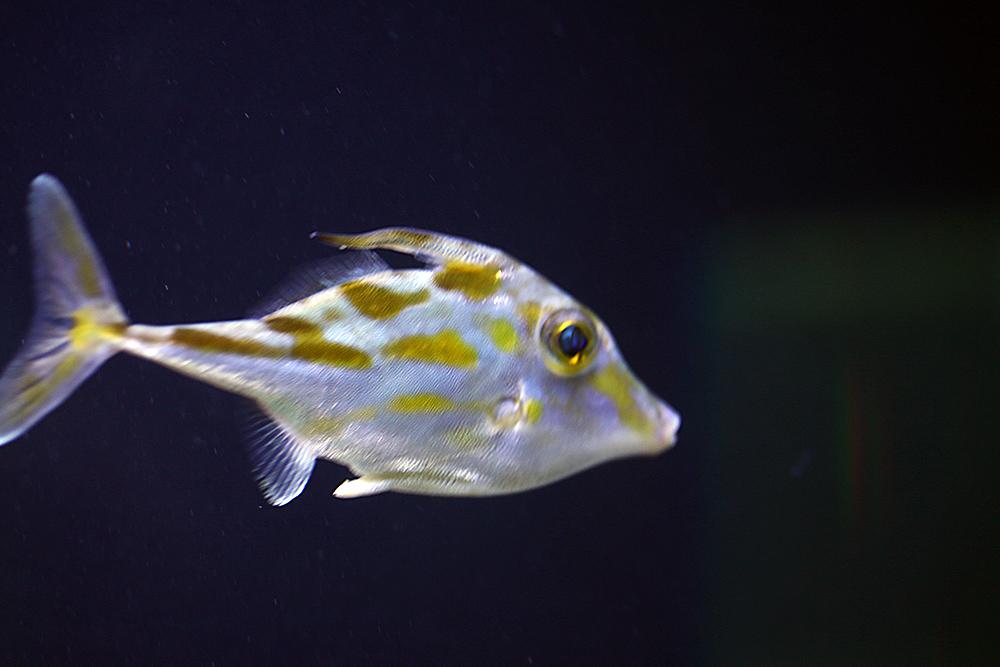 Juwelen Feilenfisch