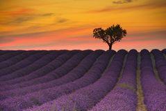 K3_2003_Lavendelblüte