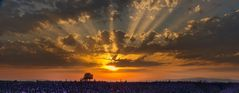 K3_2269_Sonnenuntergang über dem Lavendelfeld