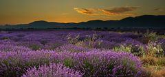 K3_2308_Lavendelblüte