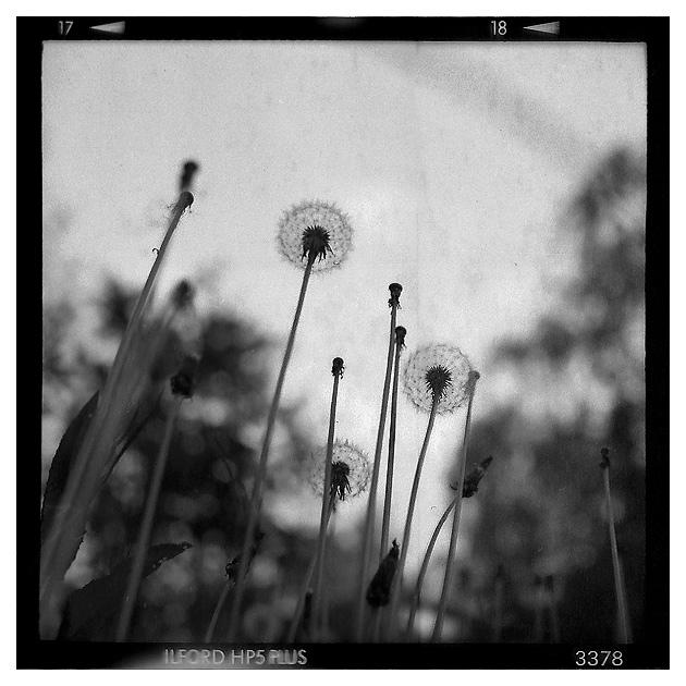 K_60 : Pusteblumen