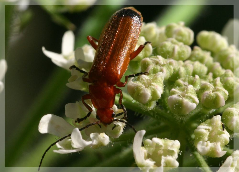 Käfer 1