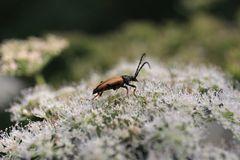 Käfer - aber was für einer