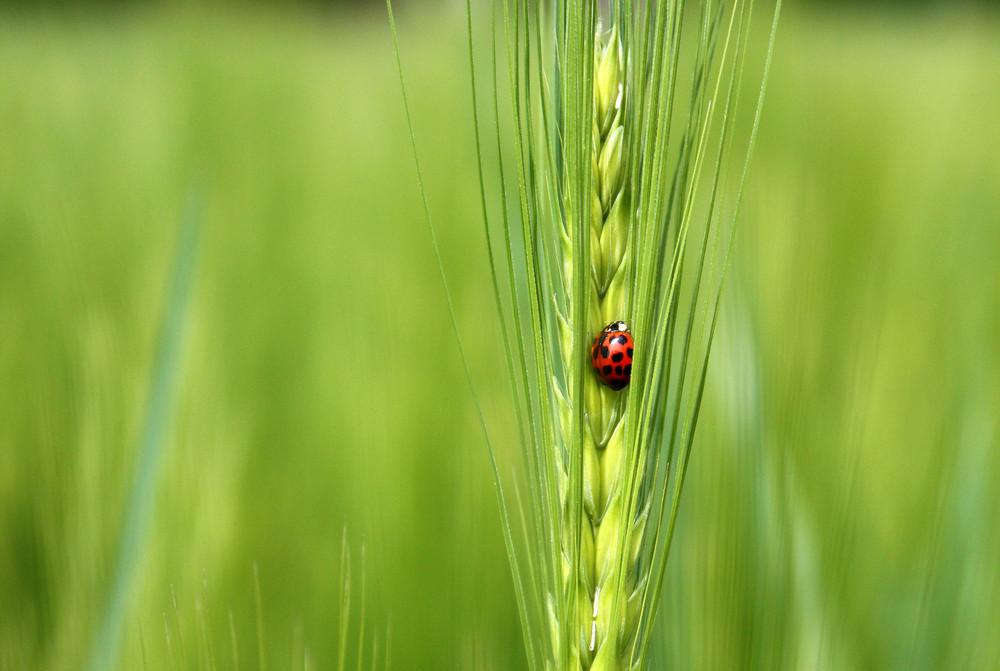 Käfer am Korn