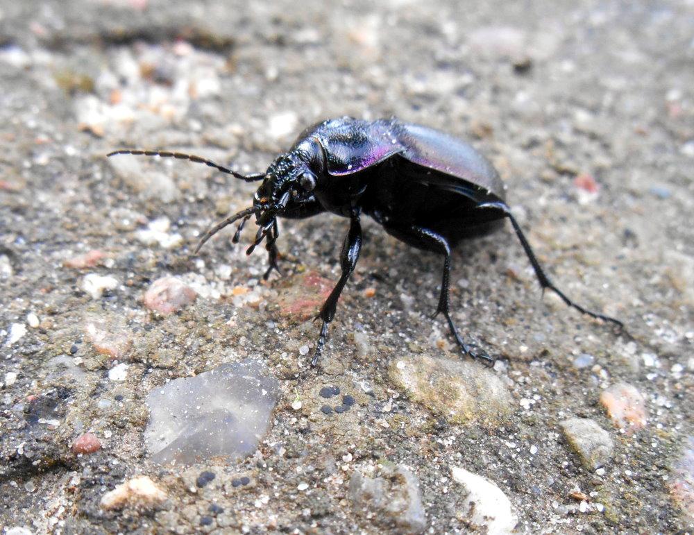 Käfer am Weg