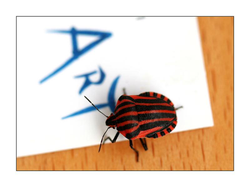 Käfer - Art