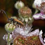 Käfer auf Brombeerblüten