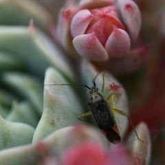 Käfer auf Fetthenne