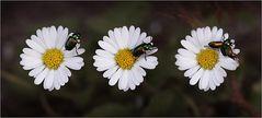 Käfer auf Gänseblümchen.
