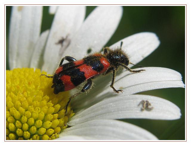 Käfer auf Margarite