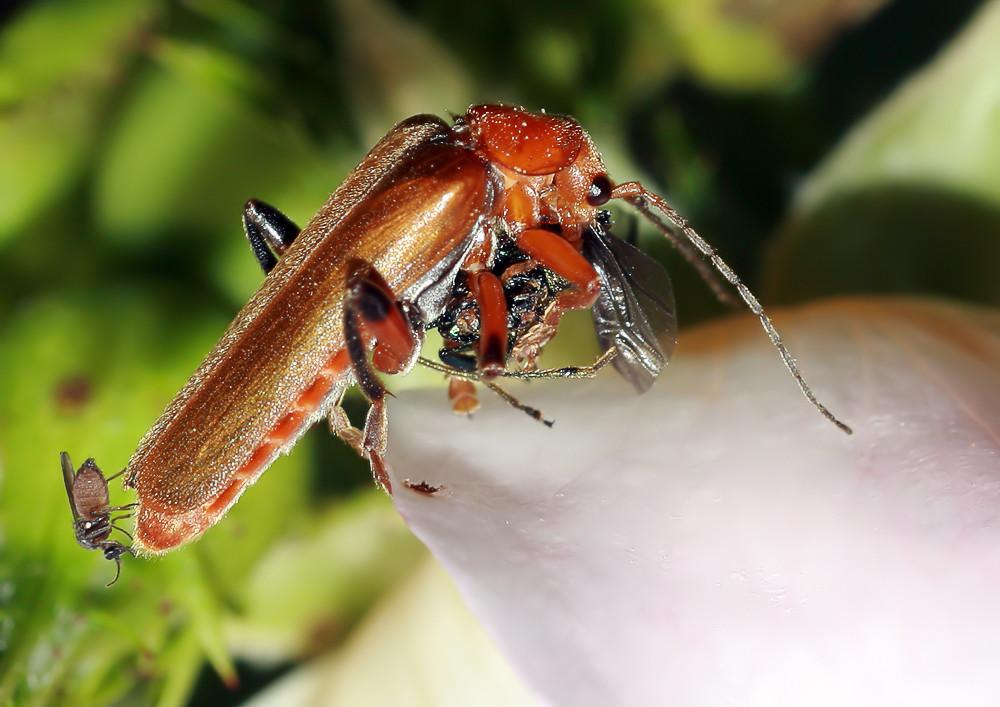 Käfer auf Rosenblütenblatt