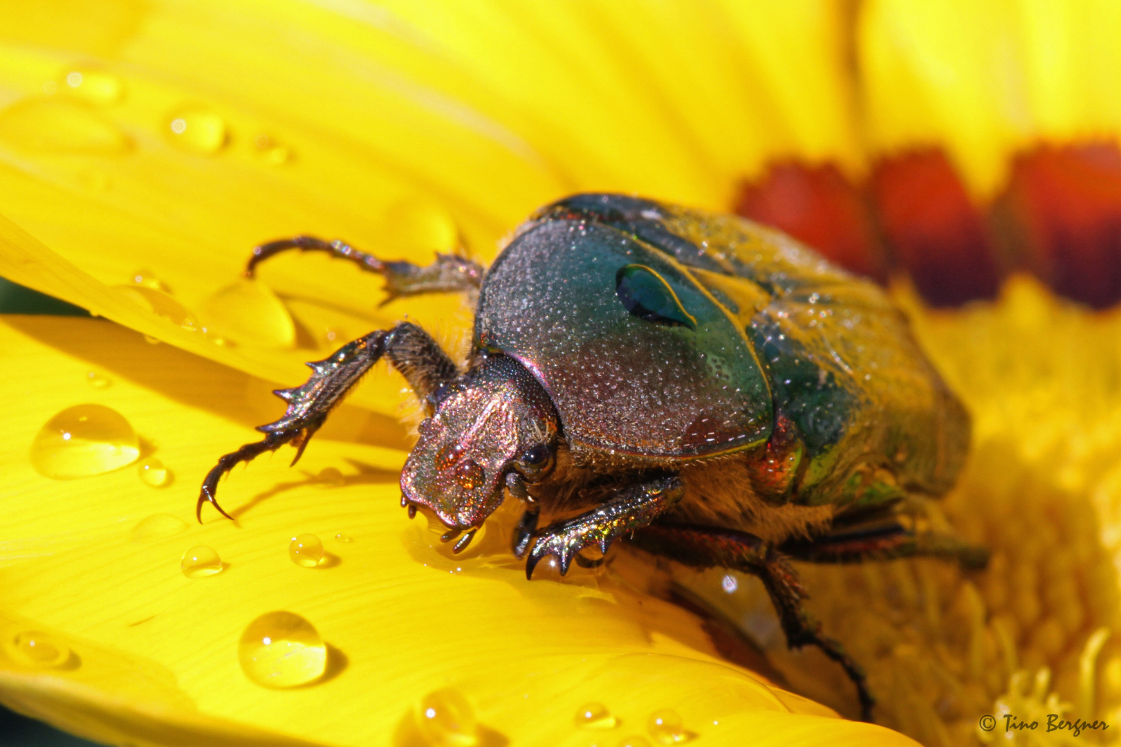 Käfer beim trinken