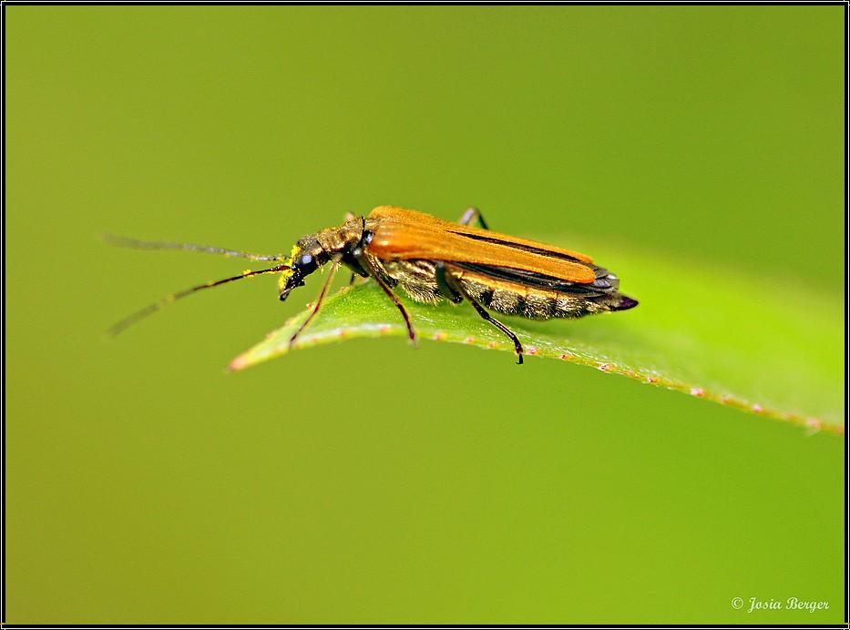 Käfer (ich habe dich längst gesehen)