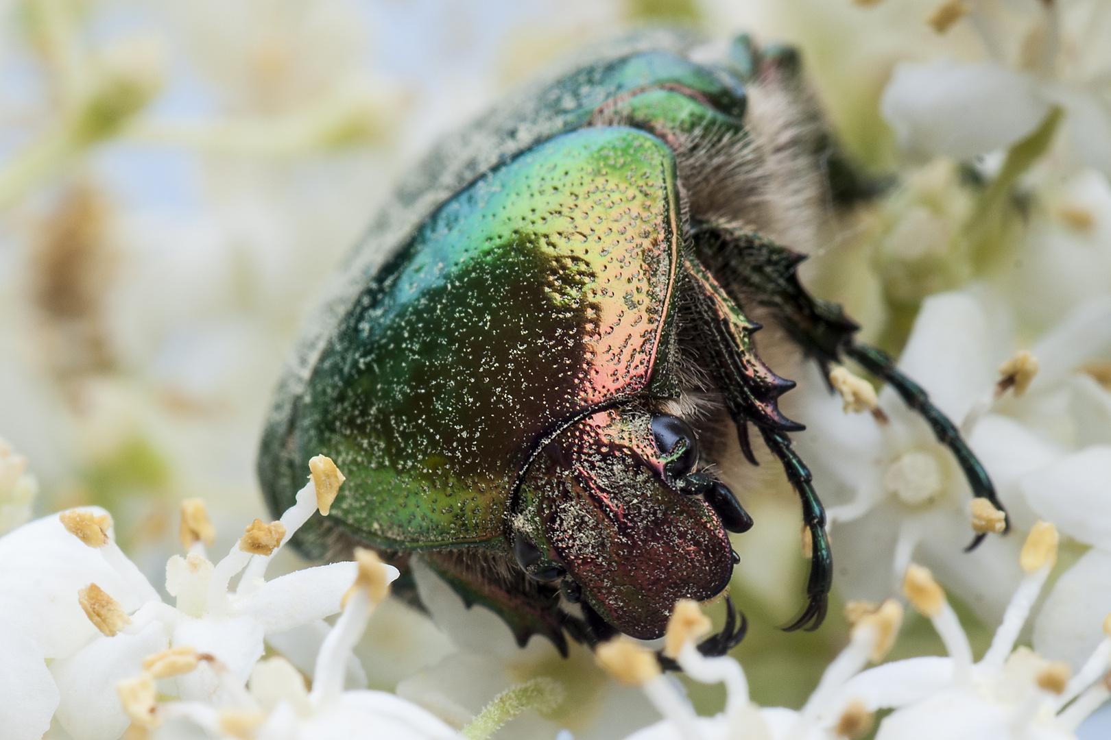 Käfer im Holunder