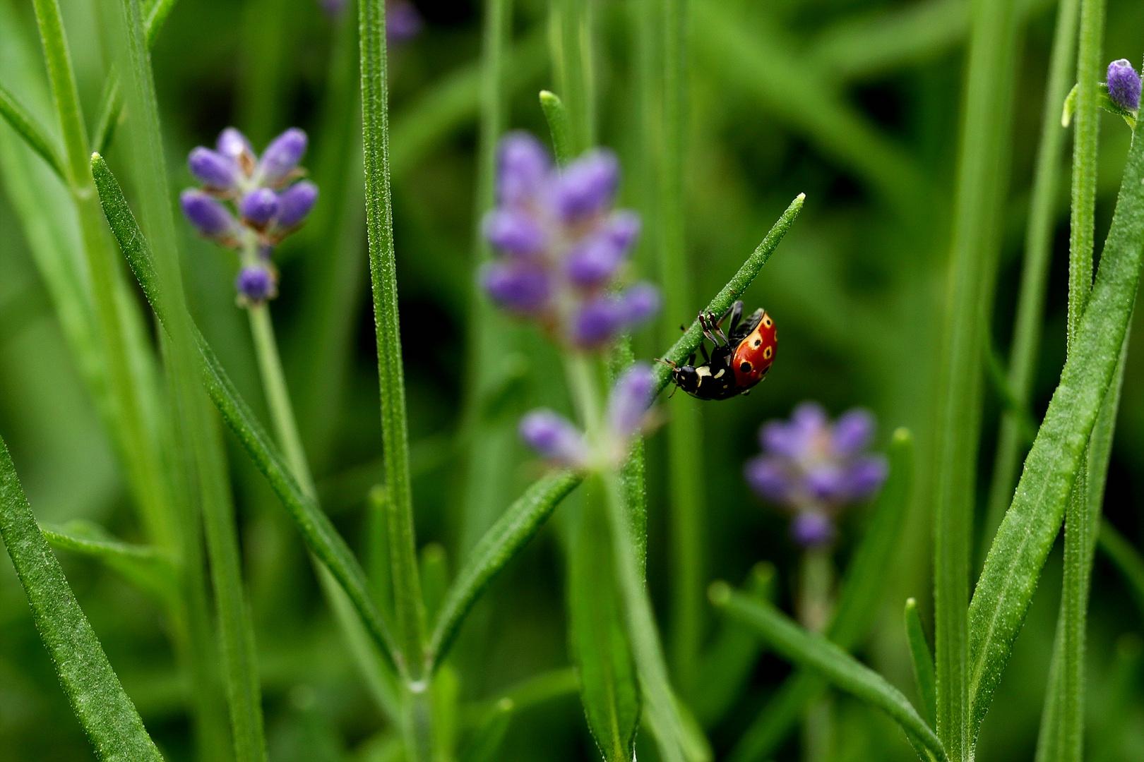 ...käfer im lavendel...