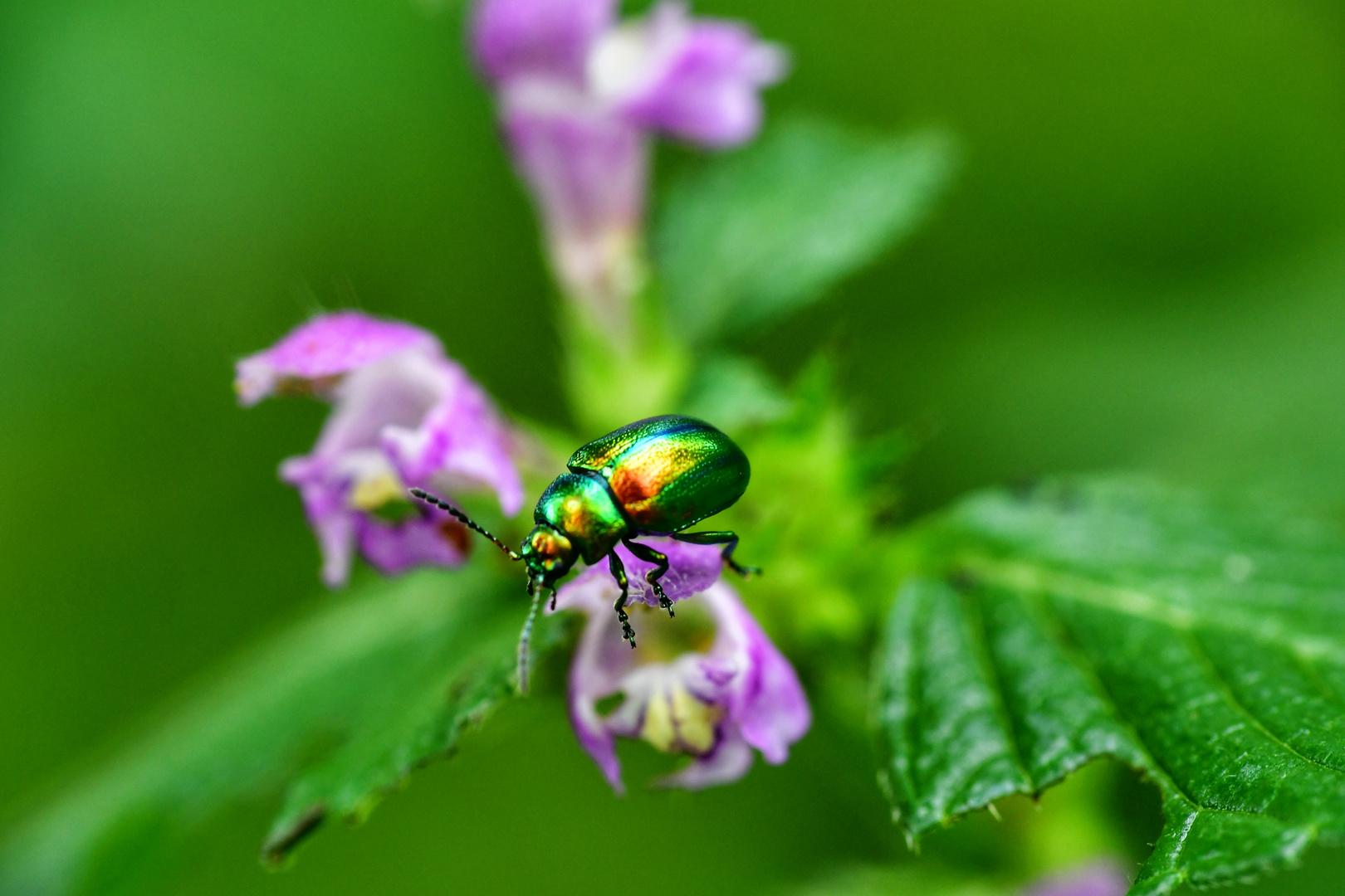 Käfer im Regenbogenkleid