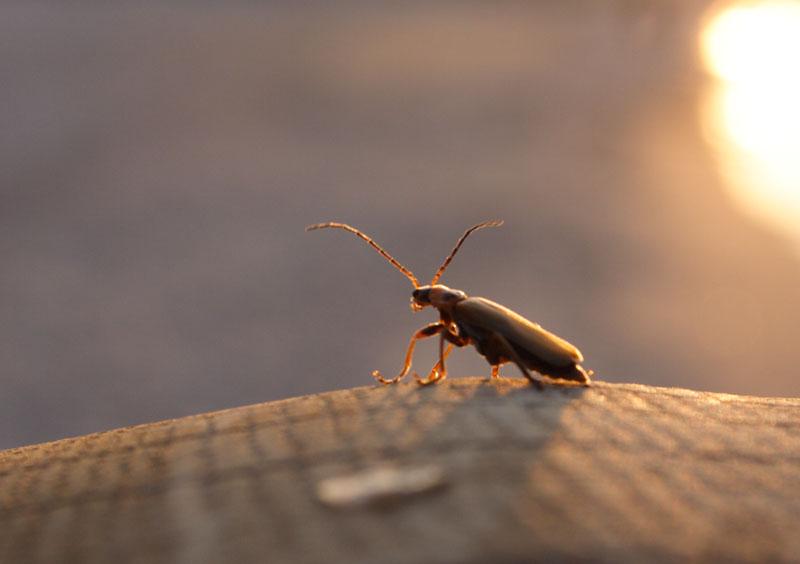 Käfer in der Abendsonne