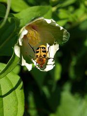 Käfer in der Blüte