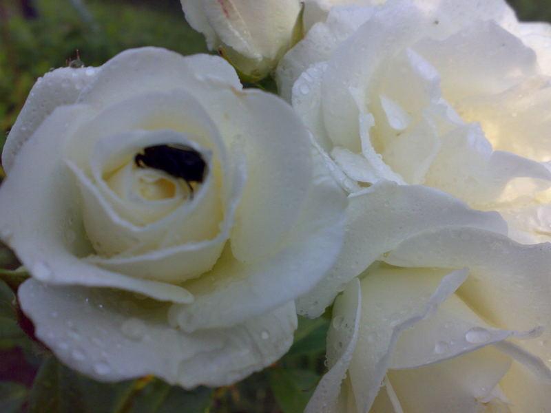 Käfer in der Rose