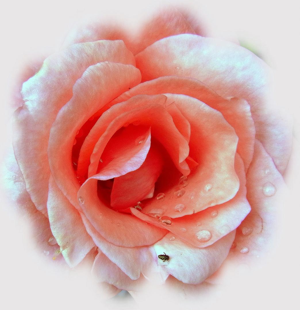 Käfer küsst Rose - zum Tag des Kusses
