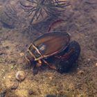 Käfer mit gelben Rand