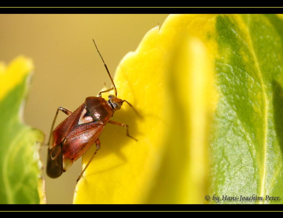 Käfer oder Wanze ???